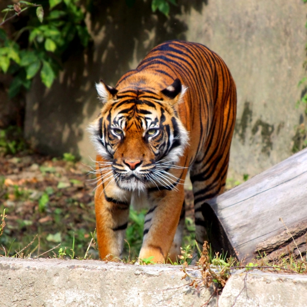 FreePhotosForCommercialUse.com, Cool animals - pictures of wild animals - tigers-600x600
